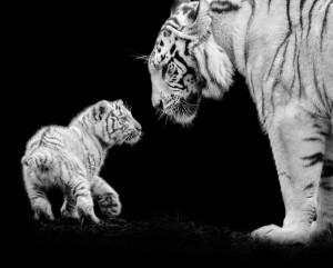La photo animalière autrement- Les tigres