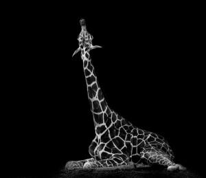 La photo animalière autrement- La girafe
